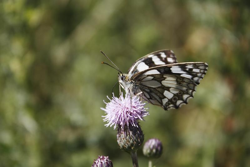 butterfly_bn
